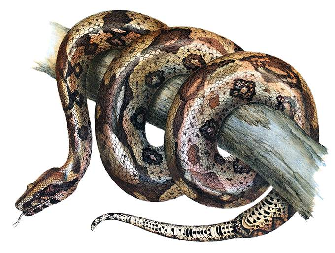 boa-constrictor[952].jpg