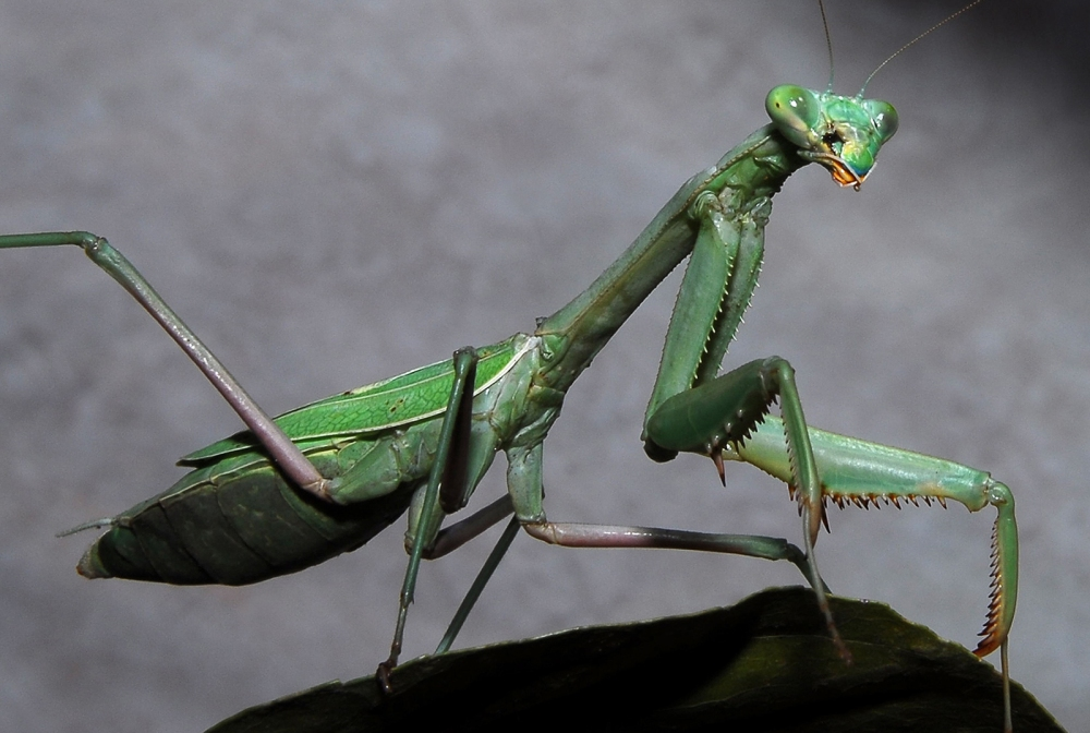 Praying_Mantis_(California)[1024].jpg