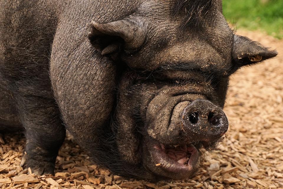America-The-Pig-Public-Domain[1934].jpg