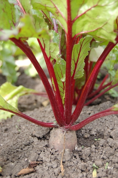 Beet-Haulm-Harvest-Vegetable-Vegetable-Garden-864828[2120].jpg