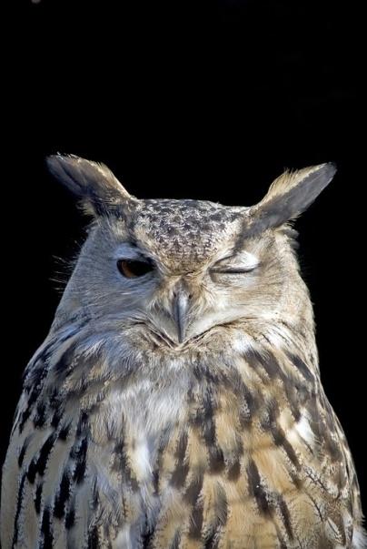Owl-Bird-Winking-Wink-Feather-1793119[2431].jpg